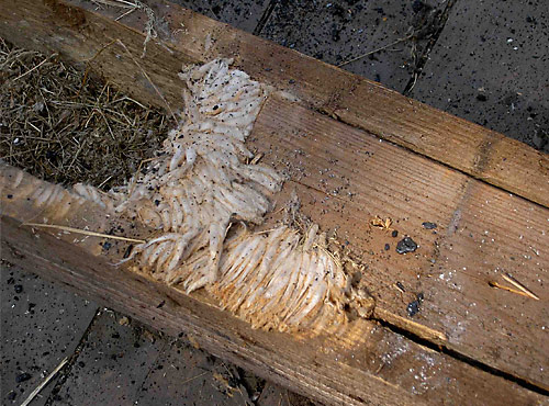 Holzschädling